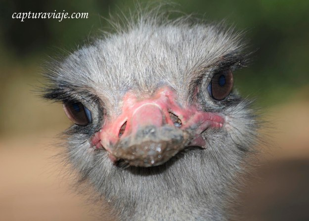 Avestruz - Primer plano - Zoo de Castellar de la Frontera