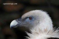 Buitre Leonado - Primer plano - Zoo de Castellar de la Frontera