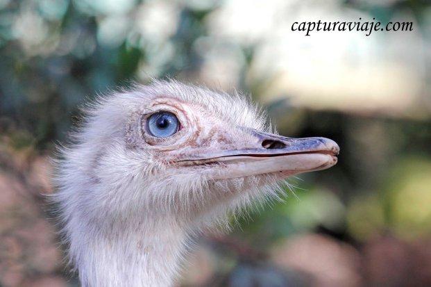 Ñandú común - Rhea americana - Zoo de Castellar de la Fron
