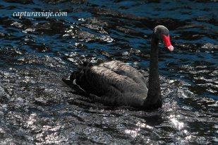 Cisne negro - de nado - Zoo de Castellar de la Frontera