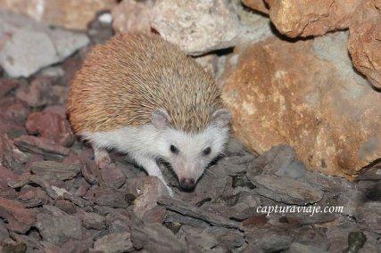 Erizo en su terrario - Zoo de Castellar de la Frontera