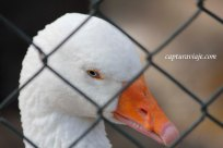 Ganso - Zoo de Castellar de la Frontera
