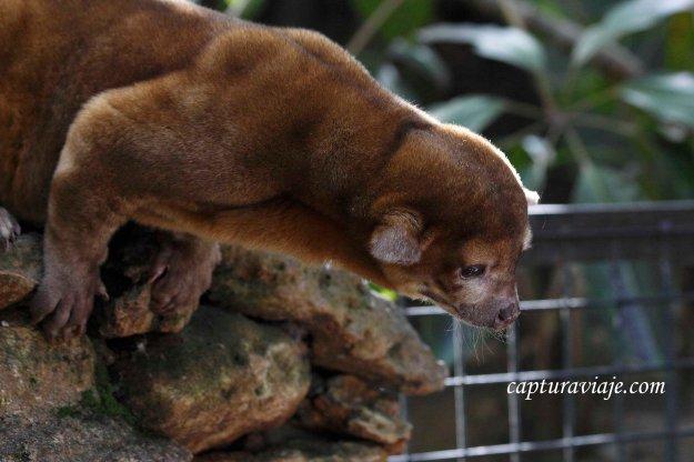 Kinkajú o Osito de la miel - Zoo de Castellar de la Frontera