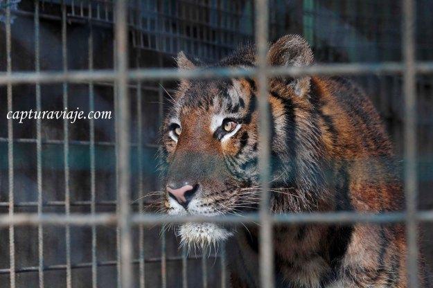 Rahin - Tigre - Zoo de Castellar de la Frontera