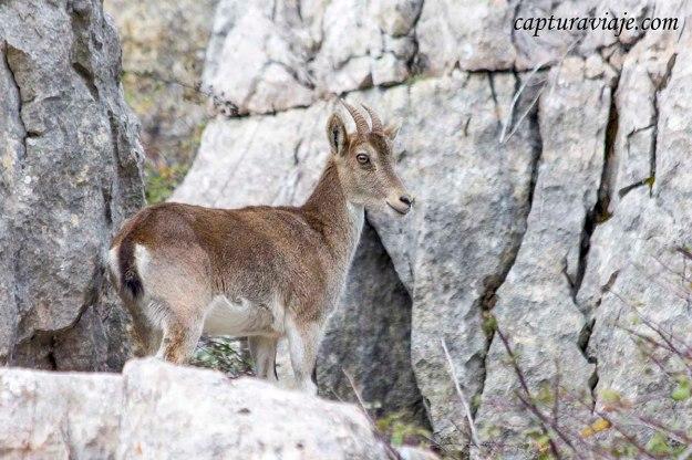 Convivencia en el Torcal de Antequera - Cabra montés - Capra pyrenaica hispanica